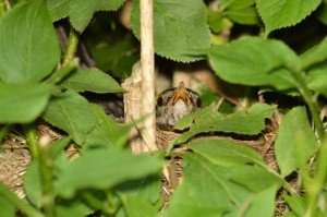 Turdus merula (f) 2605159