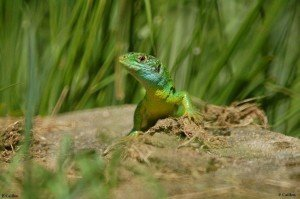 Lacerta viridis 225
