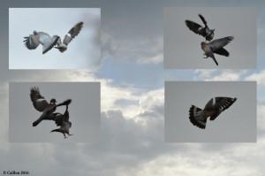 vol de pigeon