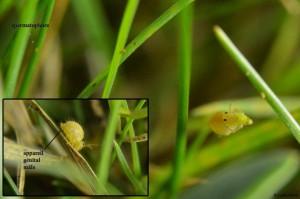 Sminthurus viridis 28VIII167