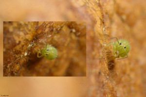 Sminthurus viridis (TV) 20XII16204
