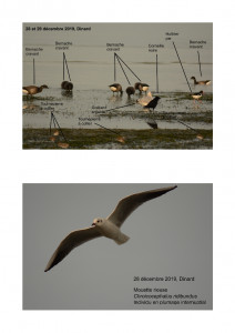 Oiseaux Dinard